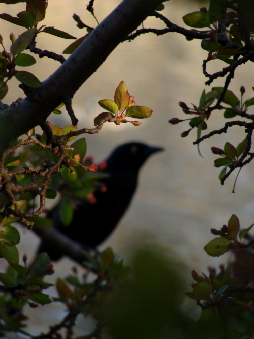 black bird in rose branches