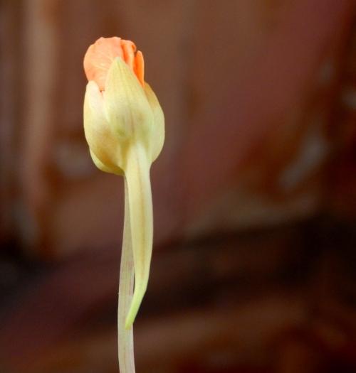 nasturtium bloom