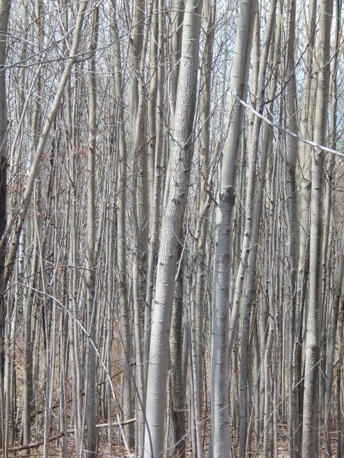 birch trees by the mystic