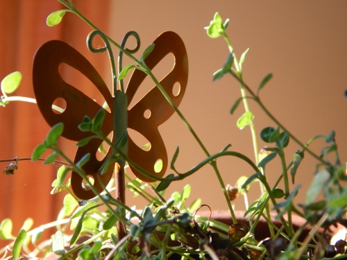 butterfly in herbs