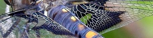 dragonflycloseup
