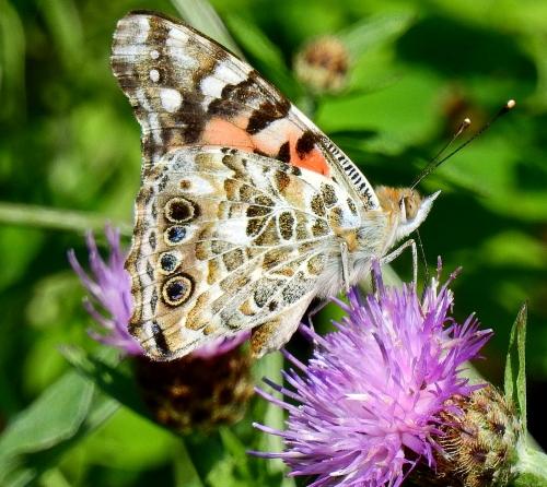 butterflythistle
