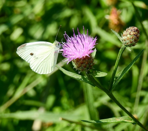 whitewingbutterfly