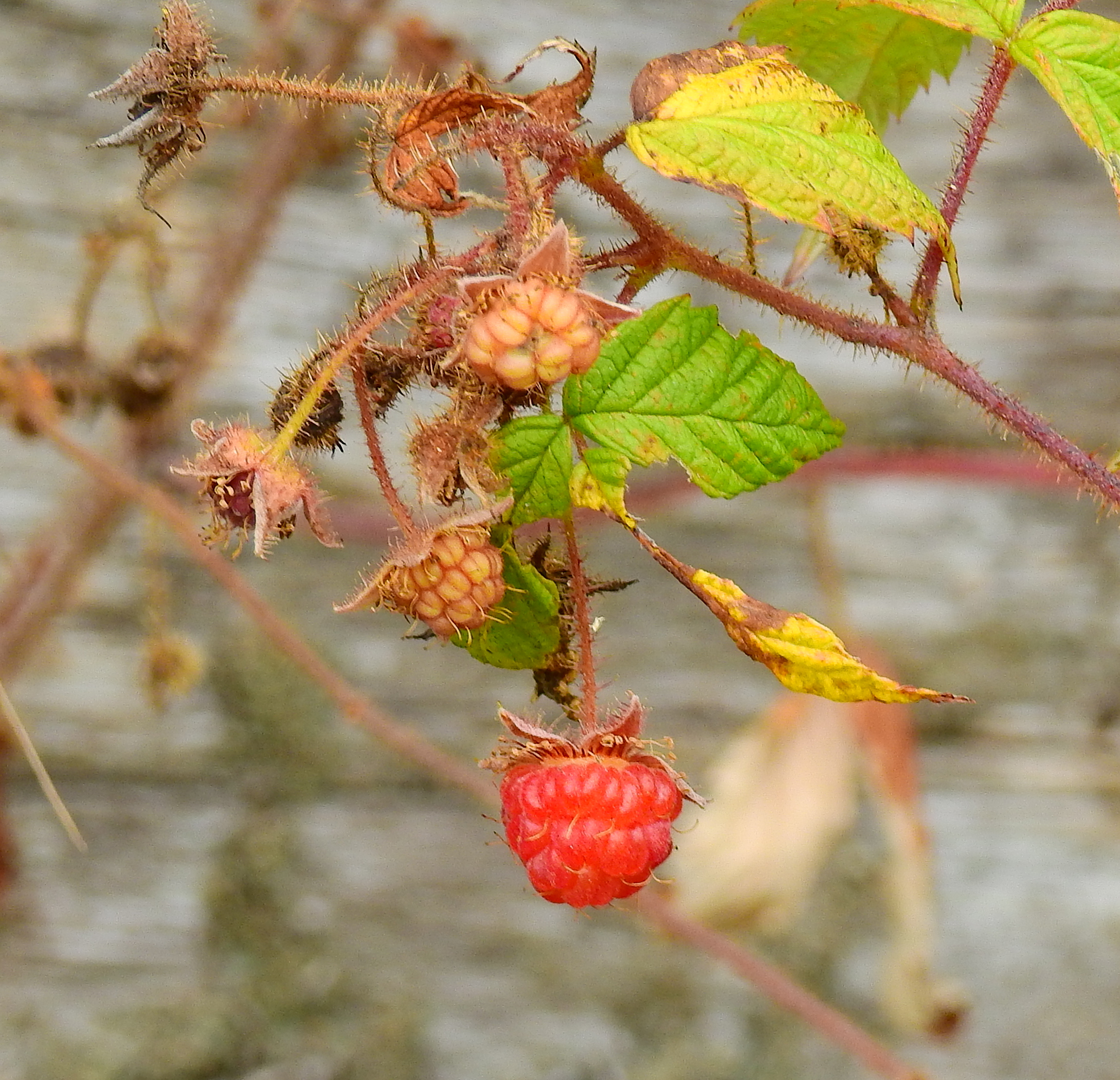 maineraspberrysingle