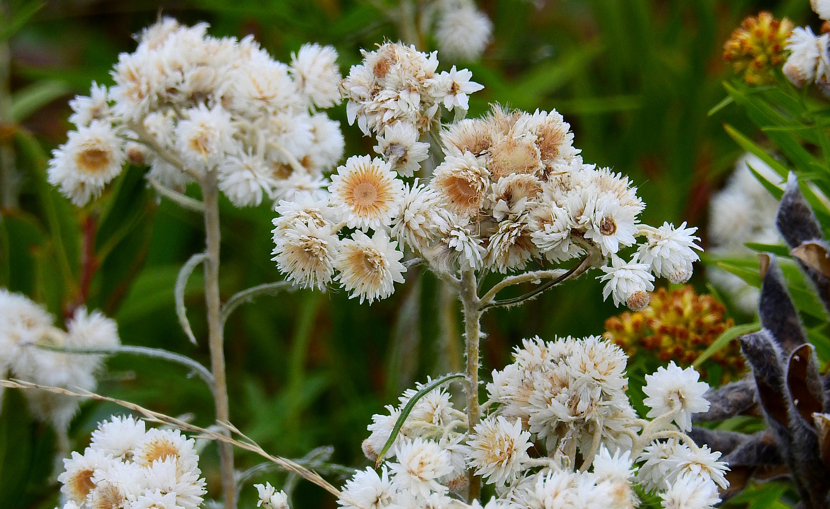 whiteflowersmaine