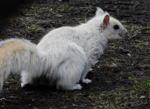 whitesquirrel2