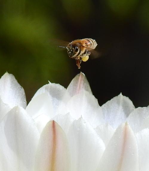 PollinatorAtWork