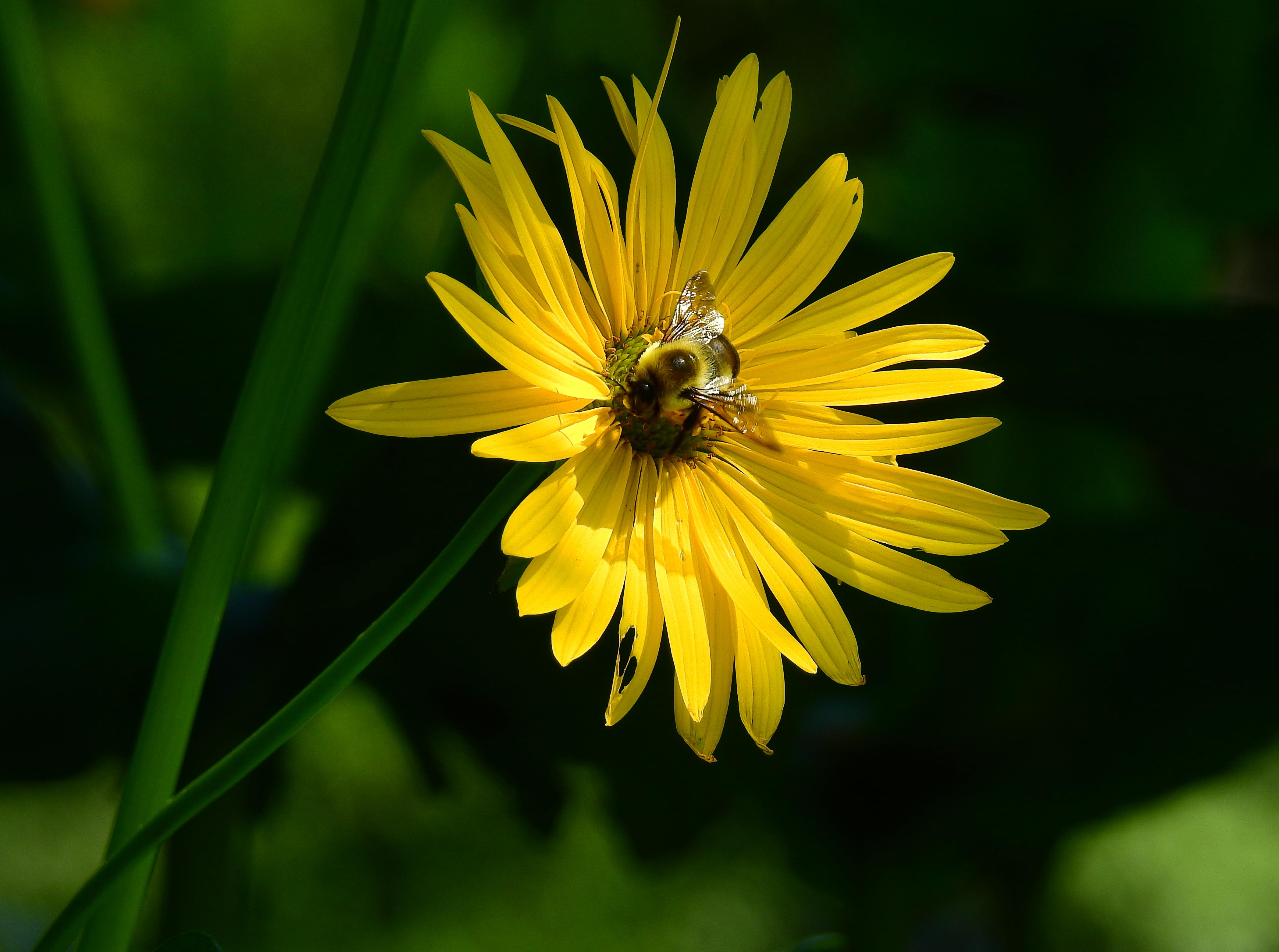 YellowFlowerBee