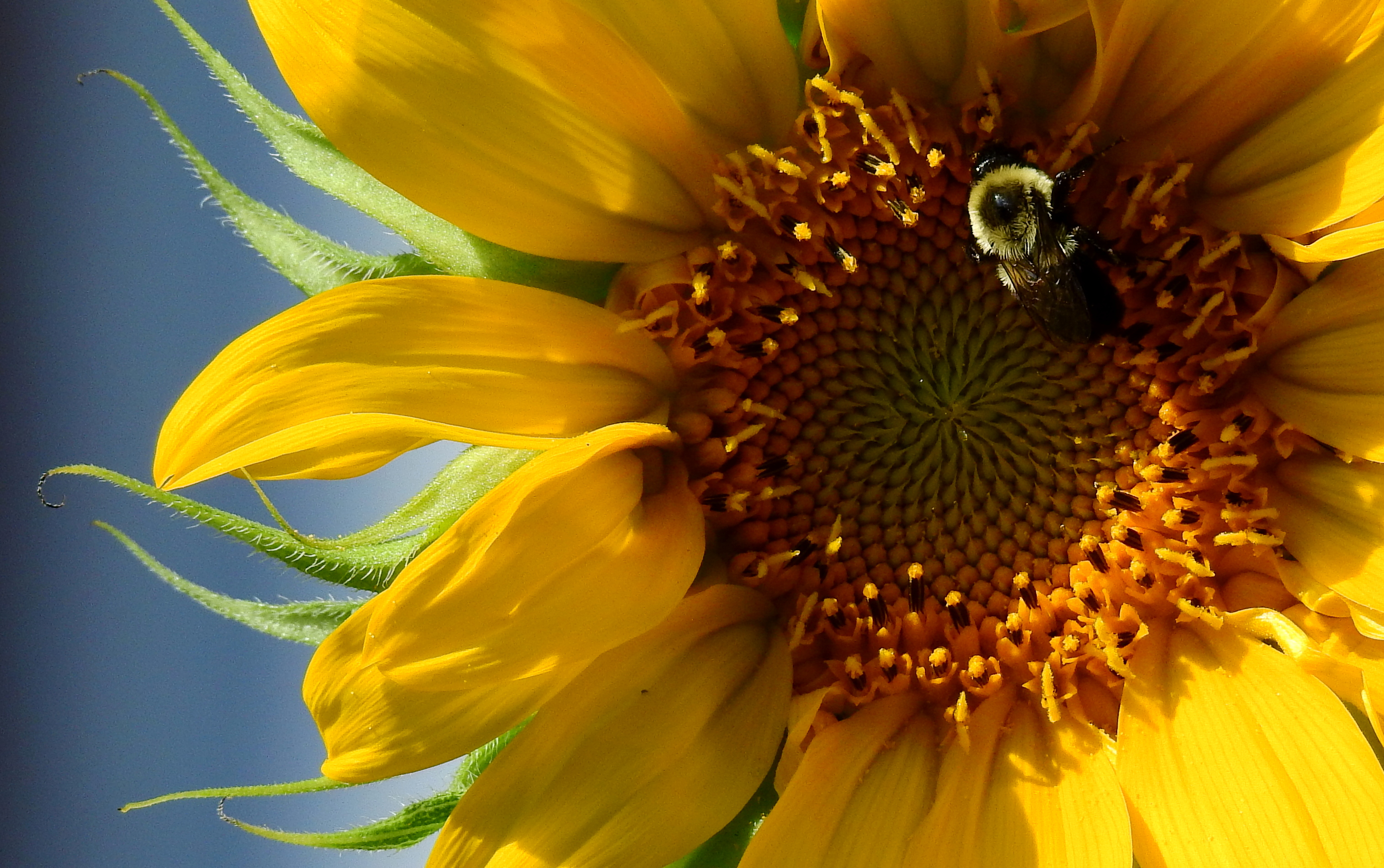 BeeSunflower