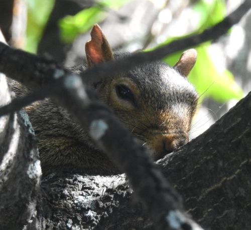 OakTreeSquirrel
