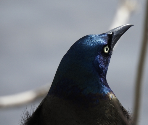 Charles River Grackle 2017