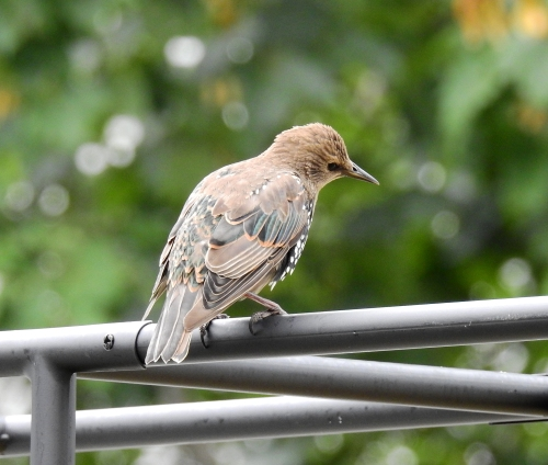 magounbird1