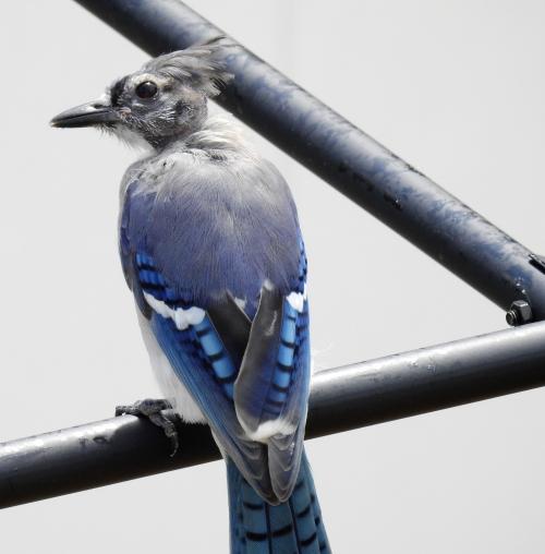 magounbird2